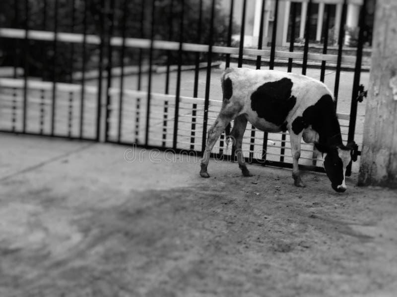 搜寻在地面上的食物的母牛小牛 免版税库存照片