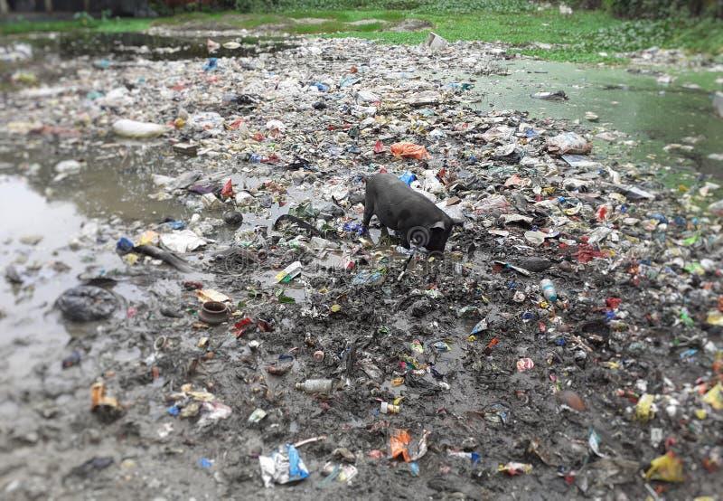 搜寻在垃圾的食物的一头黑猪在池塘附近 免版税库存照片