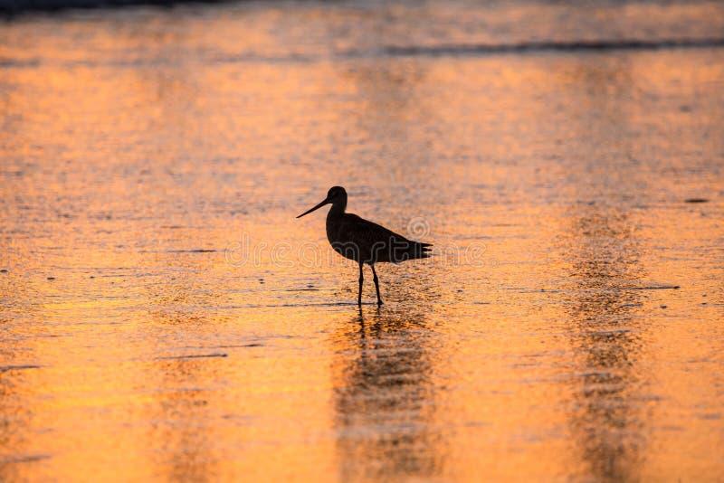 搜寻在外出的浪潮的食物的水鸟的剪影和反射 免版税库存照片