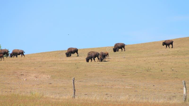 搜寻在干燥领域的绿草的北美野牛 免版税库存照片