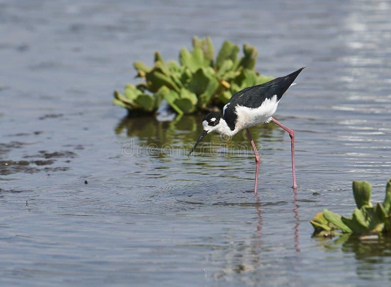 搜寻在查帕拉湖边缘的黑收缩的高跷Himantopus mexicanus  库存照片