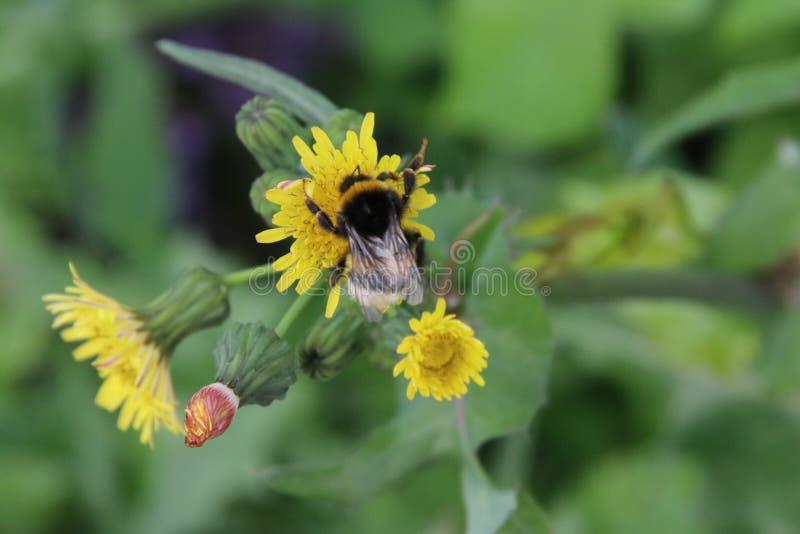 搜寻在狂放的蒲公英黄色花的花粉的蜂在公园 免版税库存照片