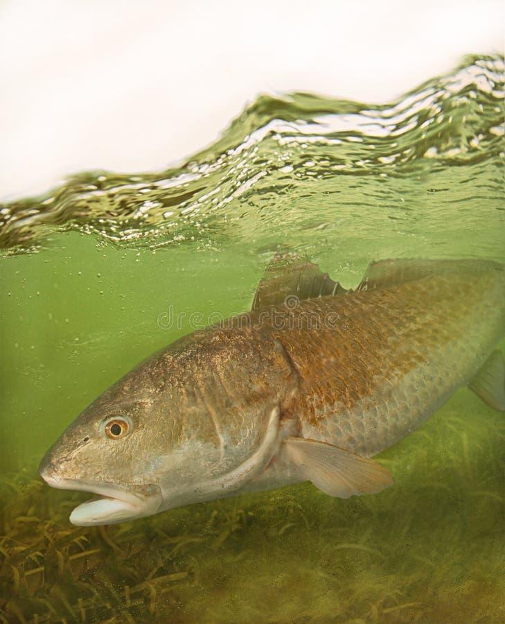 搜寻浅水区的红大马哈鱼美国红鱼 库存图片