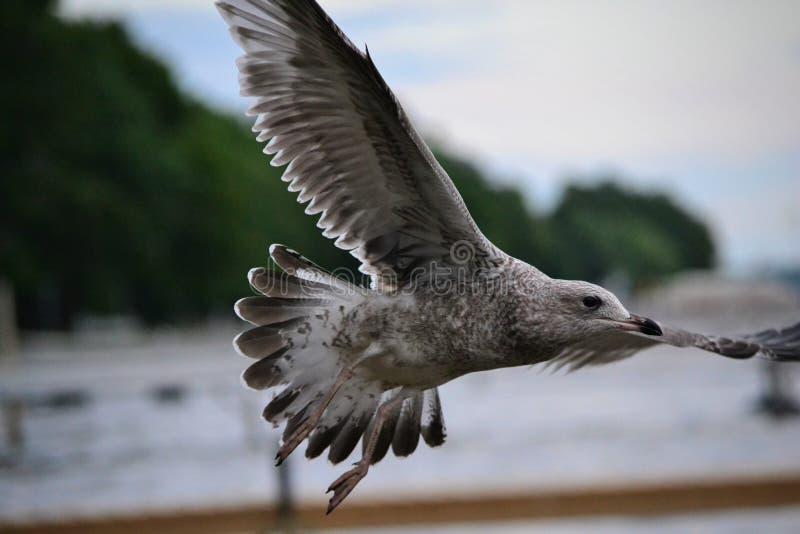 搜寻湖的海鸥寻找食物 库存照片
