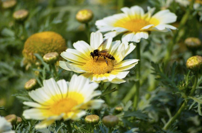 搜寻食物在黄色核心的春天期间的白色花瓣的蜂蜜蜂在有优美的风景的一个庭院里 免版税库存图片