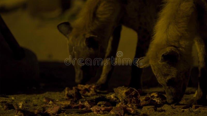 搜寻食物的一条被察觉的野生鬣狗在哈勒尔附近城市边界清除在埃塞俄比亚 免版税库存照片