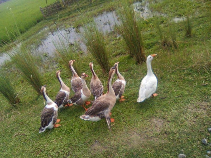 搜寻食物的鸭子 库存照片