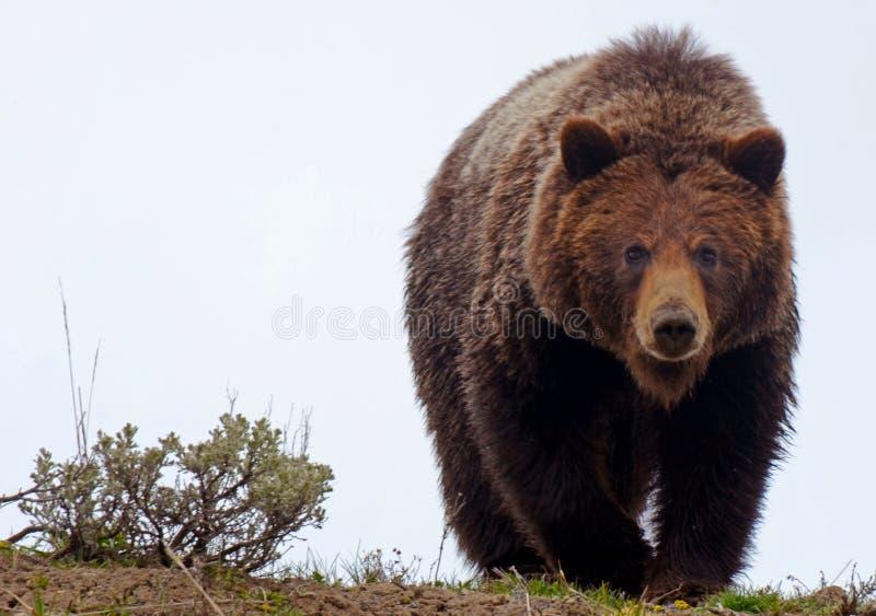 搜寻为食物的Grizzley熊 免版税库存照片