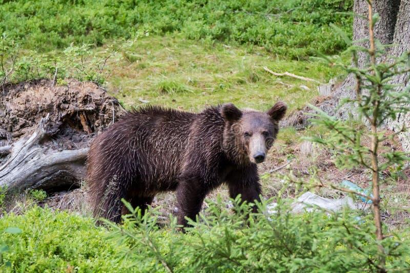 狂放的喀尔巴阡山脉的棕熊2 免版税图库摄影