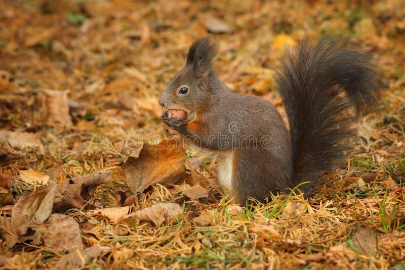 搜寻在榛子树下的红松鼠 免版税库存照片