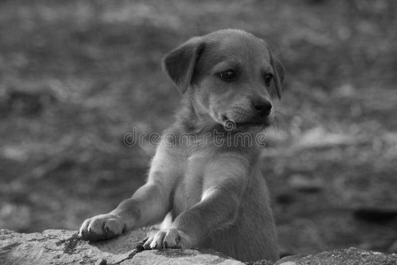 搜寻他的妈妈的小的小狗 免版税库存照片