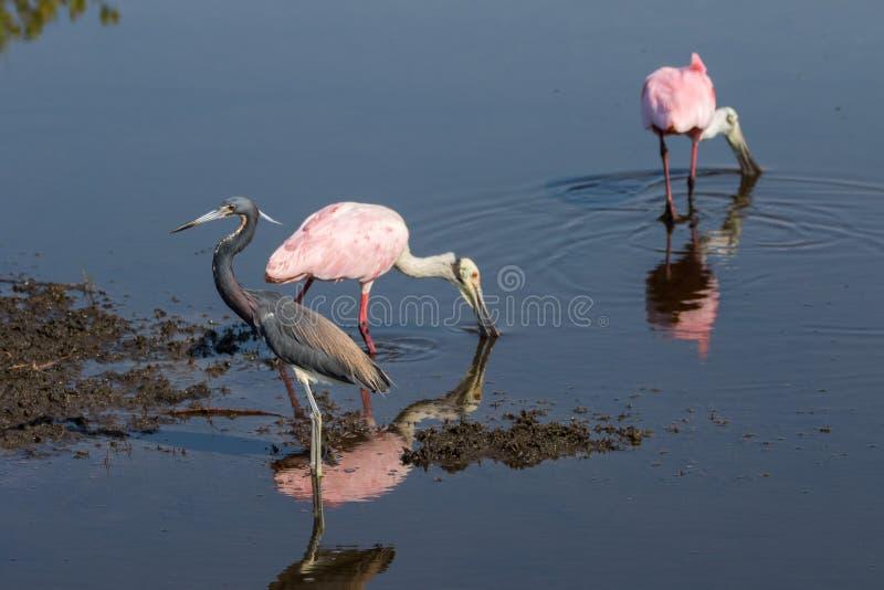 搜寻的粉红琵鹭, Tricolored苍鹭,梅里特岛Na 图库摄影