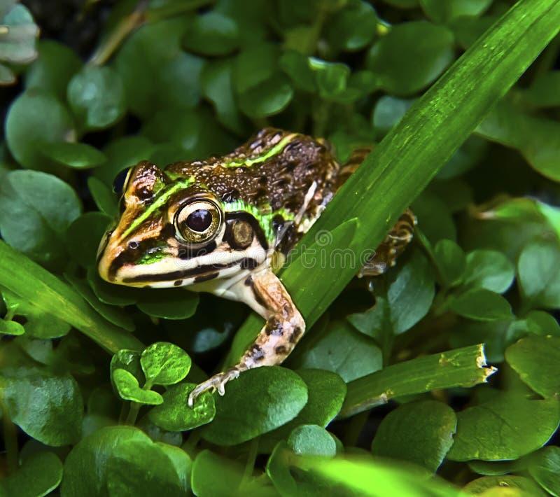 搜寻青蛙 库存图片