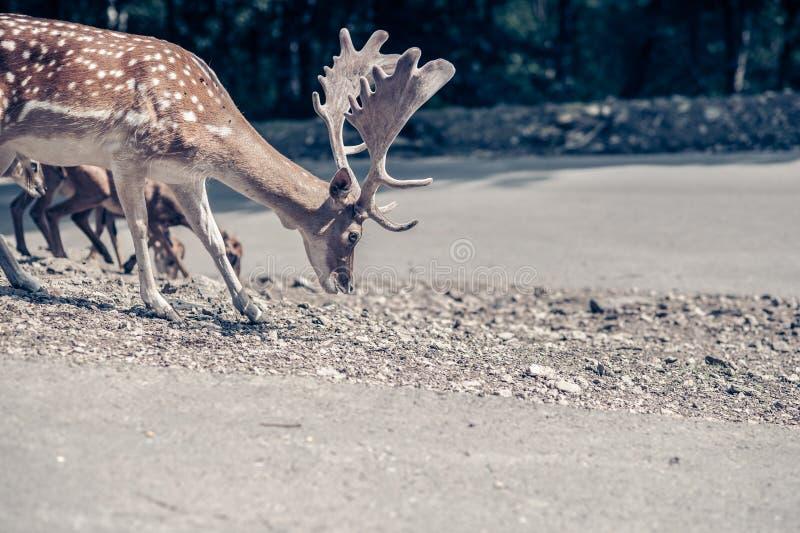 搜寻食物的公鹿在路 免版税库存图片