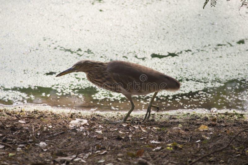 搜寻食物的池塘苍鹭 库存图片