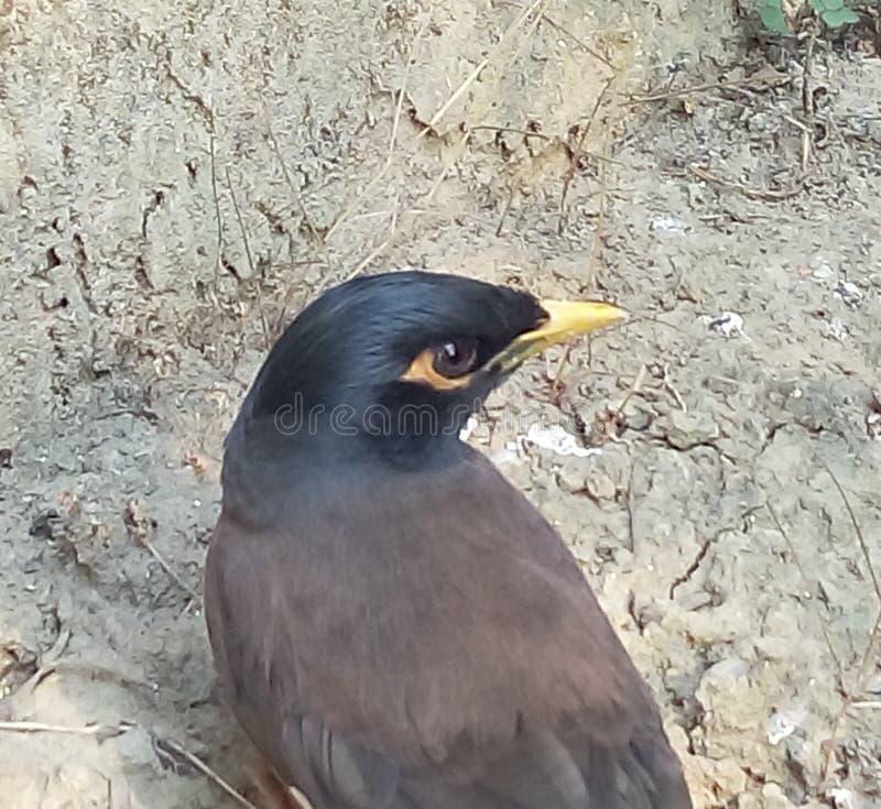 搜寻食物的饥饿的鸟 免版税库存照片