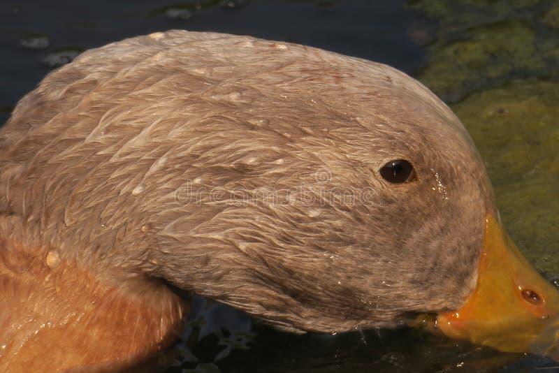 搜寻鸭子 免版税库存图片