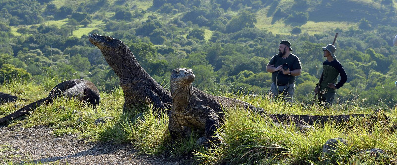 摄影师和科莫多巨蜥在海岛林卡岛上 科莫多巨蜥,巨晰属komodoensis 免版税库存照片