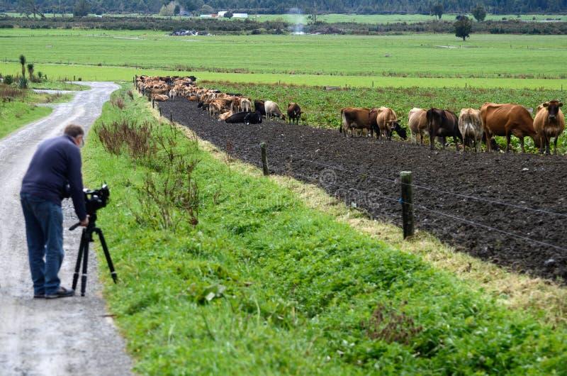 摄影师在奶牛场的工作 免版税库存图片