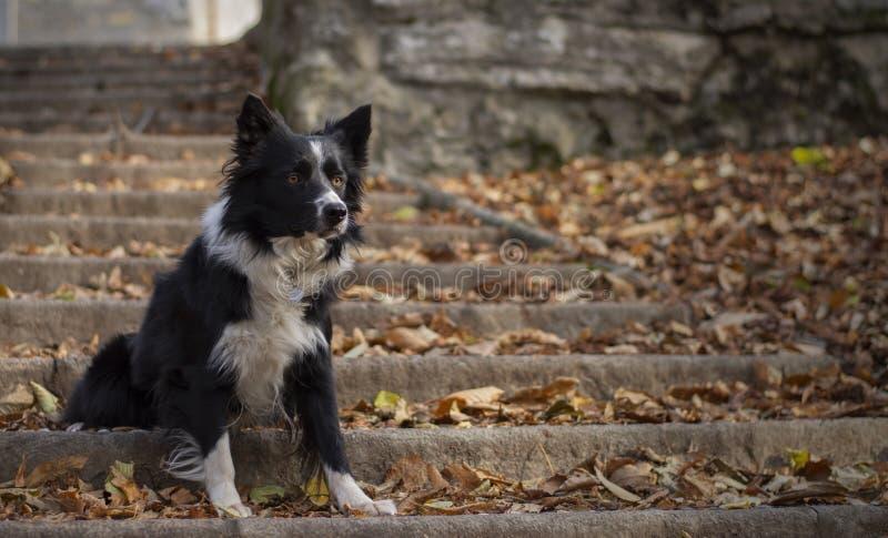 摆在一层楼梯的一只美丽的博德牧羊犬小狗在森林在一晴朗的秋天天 库存图片