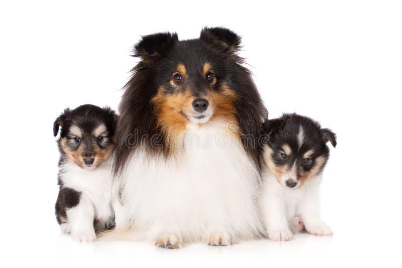 摆在与两只小狗的Sheltie狗 免版税库存图片