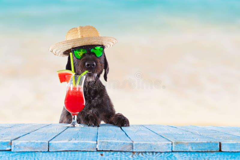 摆在与五颜六色的鸡尾酒的黑笨蛋狗 免版税库存照片