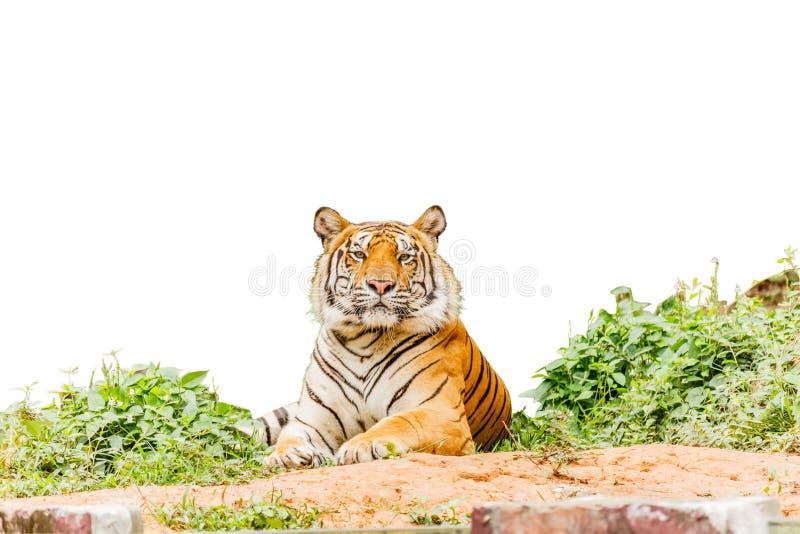 摆在与裁减路线的老虎孤立白色背景 免版税库存照片