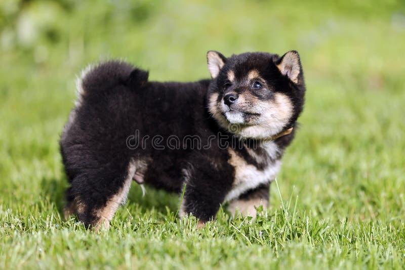 摆在为我的照相机的美丽的健康幼小shiba inu小狗 免版税库存照片