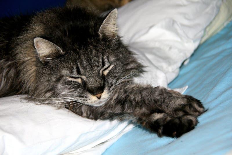 摆在为照片的挪威森林猫 库存图片