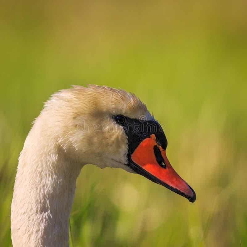 摆在为画象的一只疣鼻天鹅 免版税图库摄影