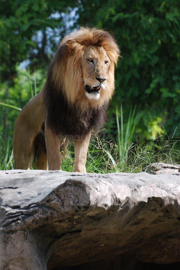 摆在作为密林的国王的狮子岩石的 库存照片