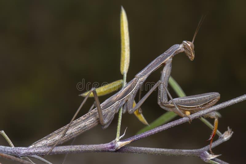 摆在分支的灰色绿色螳螂religiosa螳螂科 免版税库存图片