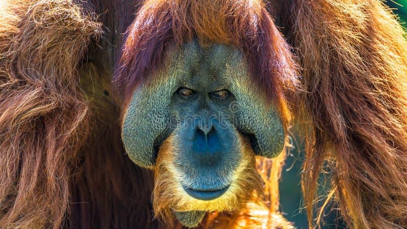 摆在前边的非常老亚洲猩猩画象  免版税图库摄影