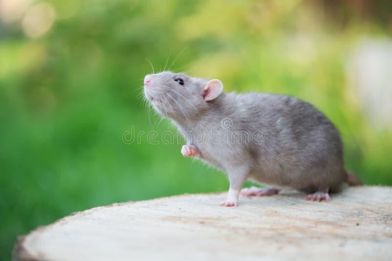 摆在可爱的灰色宠物的鼠户外 库存图片