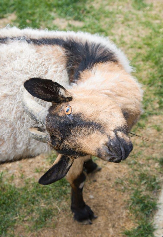 摆在和抓他的滑稽的山羊与垫铁,特写镜头画象 库存图片