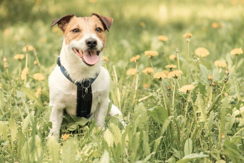 摆在在蒲公英花之间的春天草坪的愉快的狗 免版税库存照片