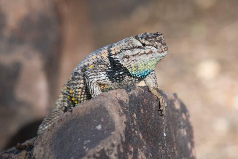 摆在岩石的多刺的沙漠蜥蜴 库存照片