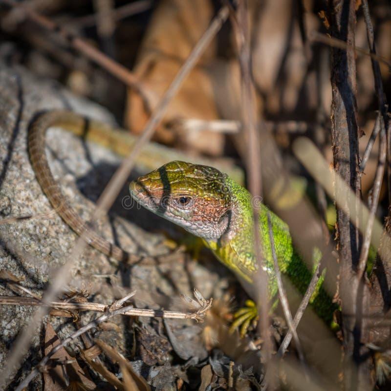 摆在岩石的绿色庭院蜥蜴 图库摄影