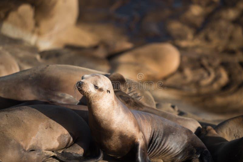 摆在峭壁的幼小海狮在拉霍亚加利福尼亚,美国 图库摄影