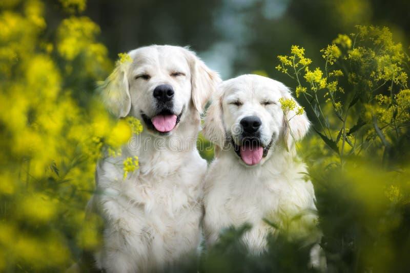 摆在户外在夏天的两条愉快的微笑的狗 免版税库存照片