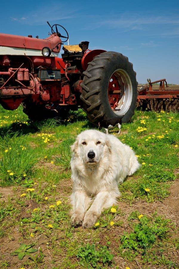 摆在拖拉机前面的大农厂狗 免版税库存图片