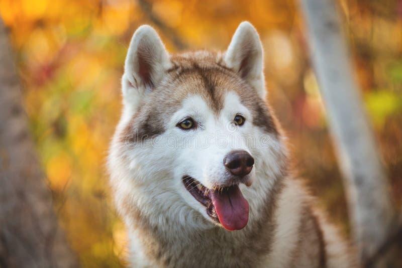 摆在明亮的森林背景的秋季的逗人喜爱的米黄和白色狗品种西伯利亚爱斯基摩人特写镜头画象  免版税库存图片