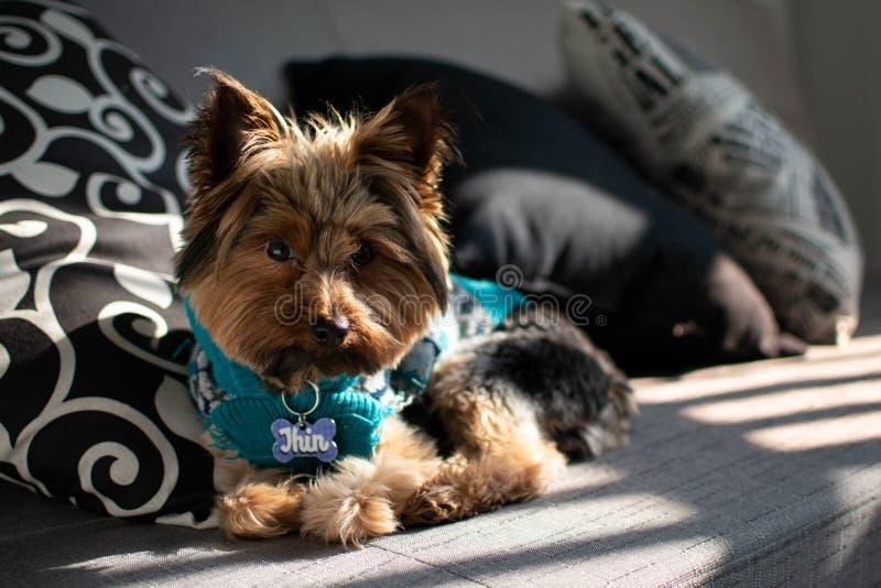 摆在有阳光的一个长沙发的逗人喜爱的Yorkie 库存图片