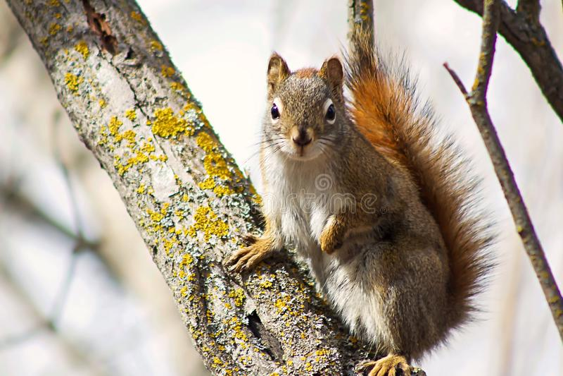 摆在树的逗人喜爱的灰鼠 库存图片