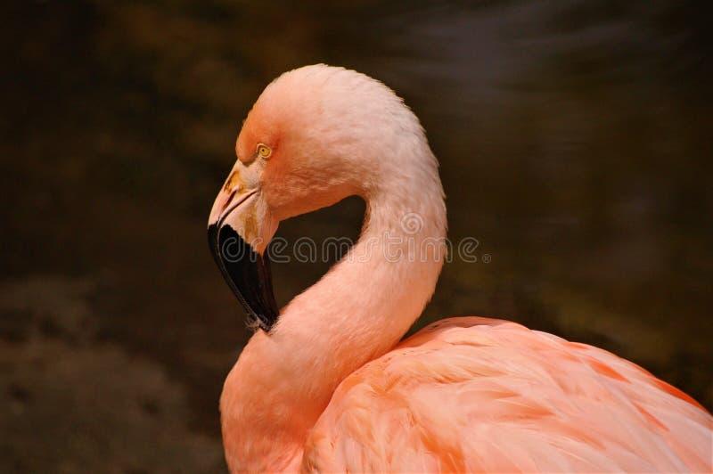 摆在桃红色火鸟 免版税库存图片