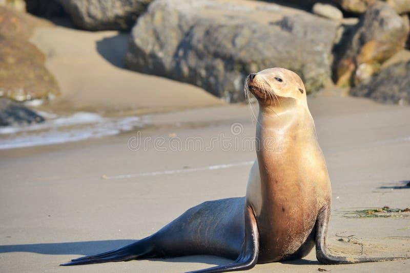 摆在海滩的海狮 免版税库存图片