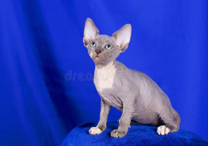 摆在演播室的Sphynx猫 免版税库存图片