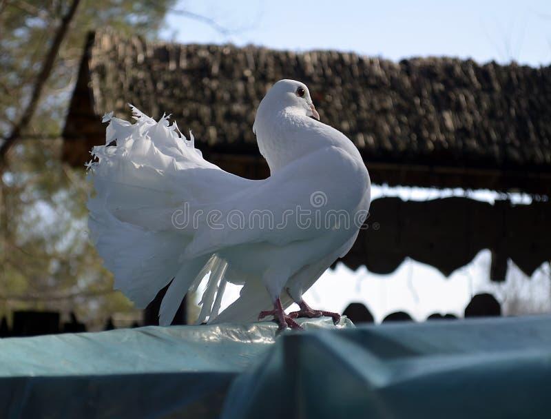 摆在照相机前面的英俊的白色鸠 免版税图库摄影