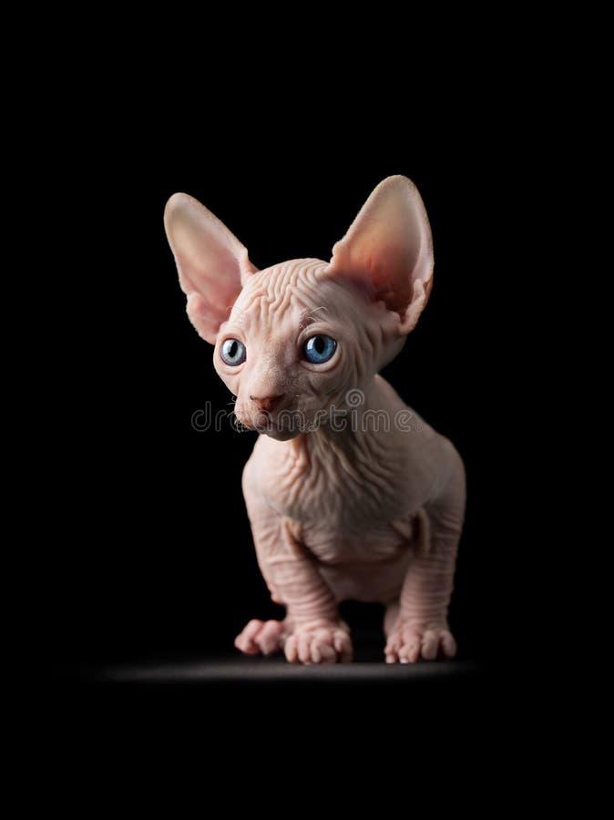 摆在照相机的前面Sphynx小猫 免版税库存照片