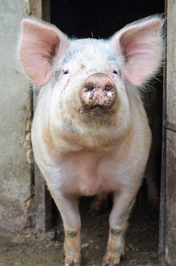 摆在照相机的大猪 免版税图库摄影